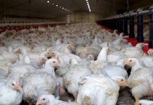 4182I will give you Broiler starter & broiler finisher formulas (poultry )